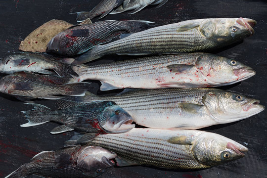 Haul of freshly caught striped  and black bass near Martha's' Vineyard