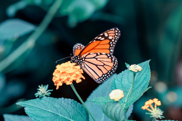 Self adhesive Wall Murals Butterfly Monarch, Danaus plexippus is a milkweed butterfly (subfamily Danainae) in the family Nymphalidae