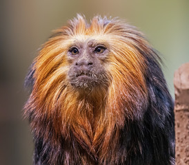 Foto op Aluminium Aap Close up of a Golden-headed lion tamarin (Leontopithecus chrysomelas)