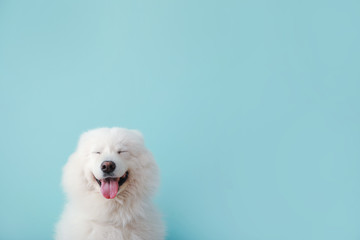 Zelfklevend Fotobehang Hond Cute Samoyed dog on color background