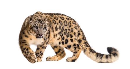 Wall Mural - Snow leopard, Panthera uncia, also known as the ounce