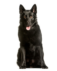Wall Mural - German Shepherd sitting against white background