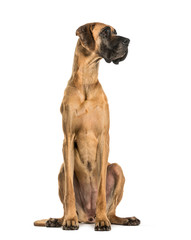 Wall Mural - Great Dane sitting against white background