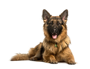 Wall Mural - German Shepherd lying against white background