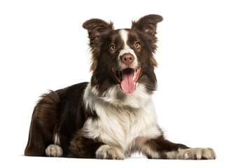 Wall Mural - Border Collie against white background