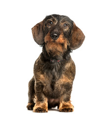 Wall Mural - Dachshund sitting against white background