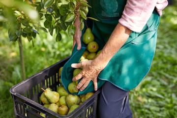Organic farmer harvesting williams pears
