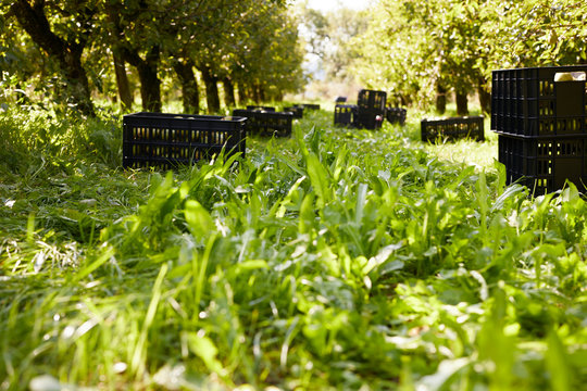 Fruit crates on meadow, pear trees