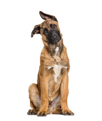 Fototapete - Malinois sitting against white background