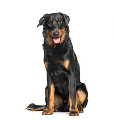 Fototapete - Beauceron sitting against white background