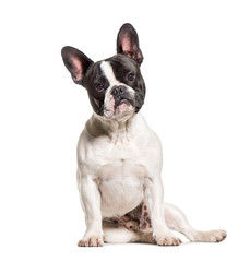 Wall Mural - French Bulldog sitting against white background