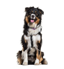 Fototapete - Australian Shepherd sitting against white background