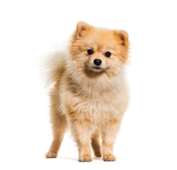 Wall Mural - Pomeranian dog standing against white background