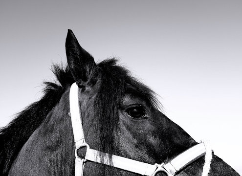 Close up view of black horse