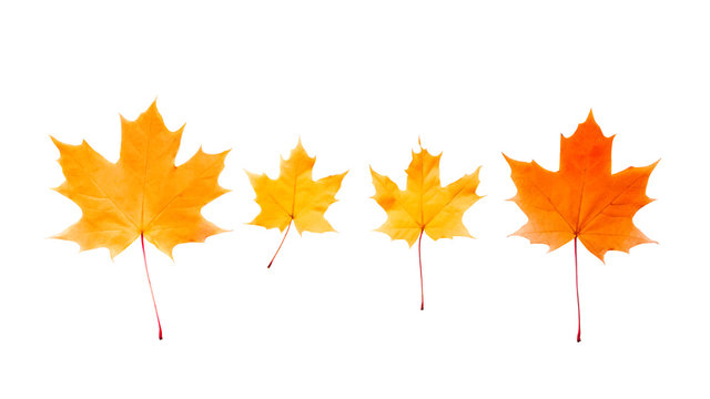 Autumn maple leaves isolated on white background.