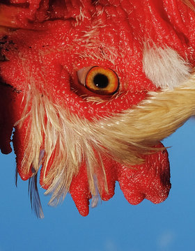 Upside down close up of cockerel head