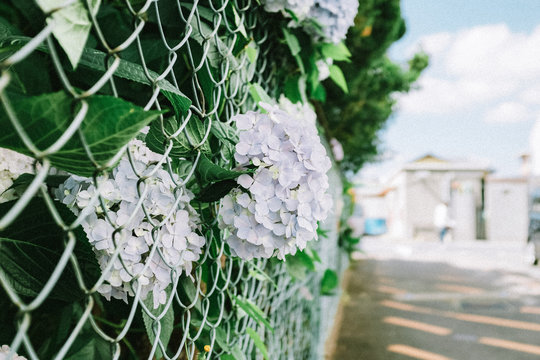 Close up view of white hydrangea through fence