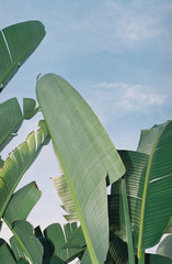 Low angle view of  banana palm leaves against sky