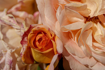 Close up of rose flowers