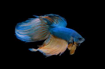 Blue Siamese fighting fish