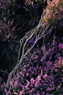 View of colorful heather