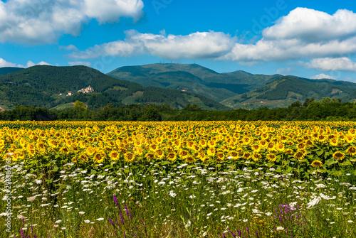 Paesaggio tipico Toscano con Girasoli - Typical Tuscan ...