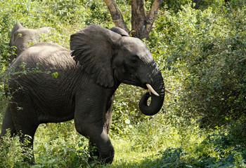 Elephant's calves walking in forest