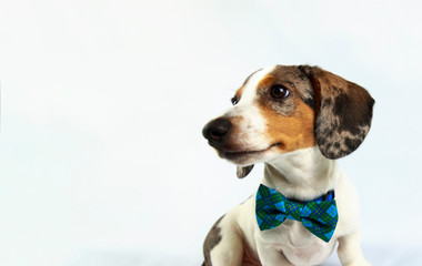 small cute white dachshund puppy dog wearing blue plaid bow tie on plain white background
