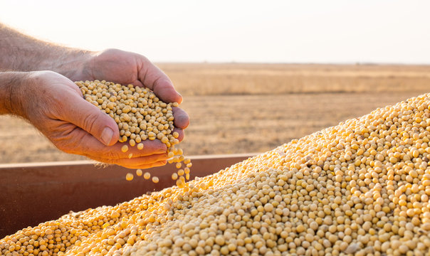 Hands of peasant holding soy beans