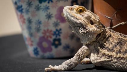 Bearded Dragon Portrait / Pet Lizard  Wall mural