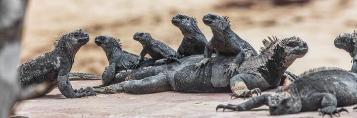 Galapagos funny animals - Marine Iguana with many marine iguanas on top of each other. Cute Amazing wildlife animals on Galapagos Islands, Ecuador.