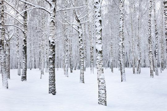 View of beautiful winter birch wood