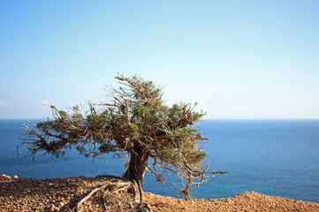 Dry little tree on sea cliff at blue clear sky