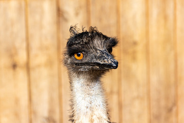 Portrait of a young female emu (Dromaius novaehollandiae)