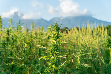 Close up photo of marijuana plant at outdoor cannabis farm field. Hemp plants used for CBD and health