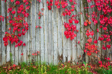 Natural fence. Tree leaves change color in autumn.