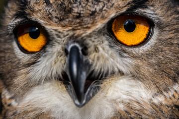 Eurasian eagle-owl, Bubo bubo, close-up view