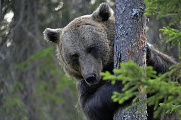 portrait of Brown bear in the summer forest. Green forest natural background. Scientific name: Ursus arctos. Natural habitat. Summer season.