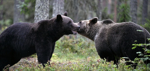 Couple of bears loving each other, caress, kiss, love. Male And Female Brown Bear Being Friendly.