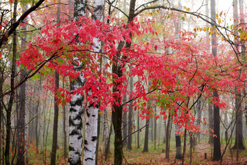 The silver birch trees and red leaves.