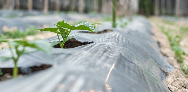 Row of baby tree on soil covered by plastic or mulching film in agriculture.