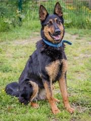 Deutscher Schäferhund sitzt auf grüner Wiese