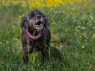 Hund bellt vor Freude auf grüner Wiese