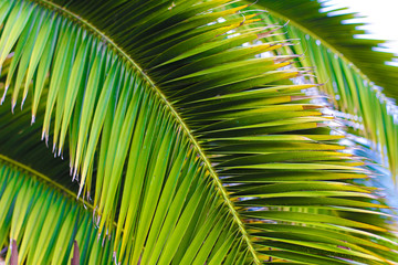Wall Mural - Close up palm leaves.