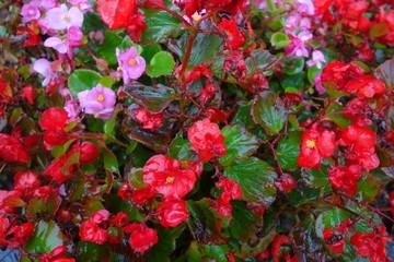 雨に濡れた赤いベゴニア