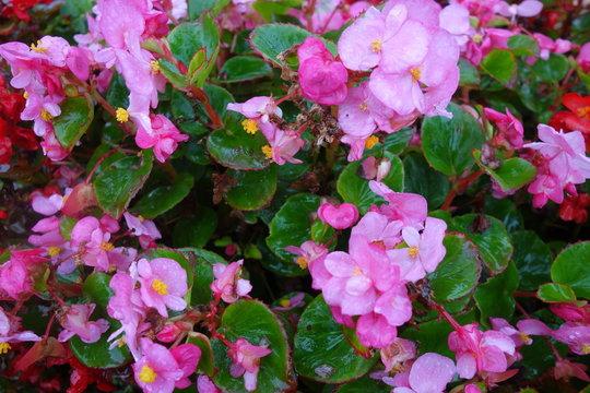 雨に濡れたピンクのベゴニア