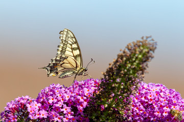 Swallowtail (Papilio machaon) sitting on the flower of a butterfly bush in summer.