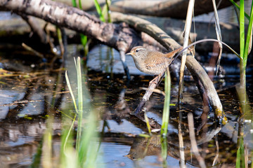 Eurasian wren (Troglodytes troglodytes) in the nature protection area Moenchbruch near Frankfurt, Germany.