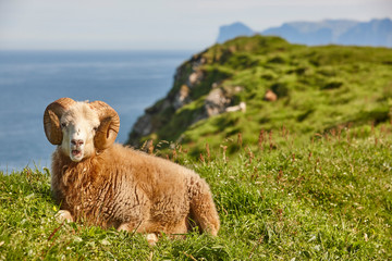 Sheep lamb grazing on the Faroe islands green meadows