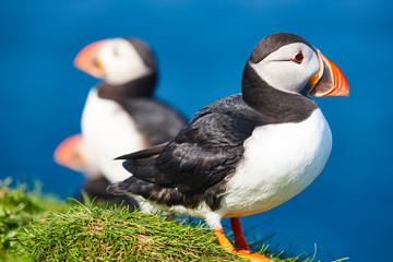 Puffins on Mykines cliffs and atlantic ocean. Faroe birdlife